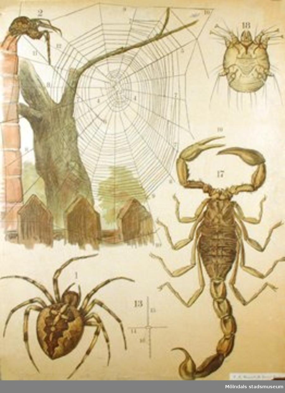 Biologi.Korsspindel, skabbdjur, skorpion.