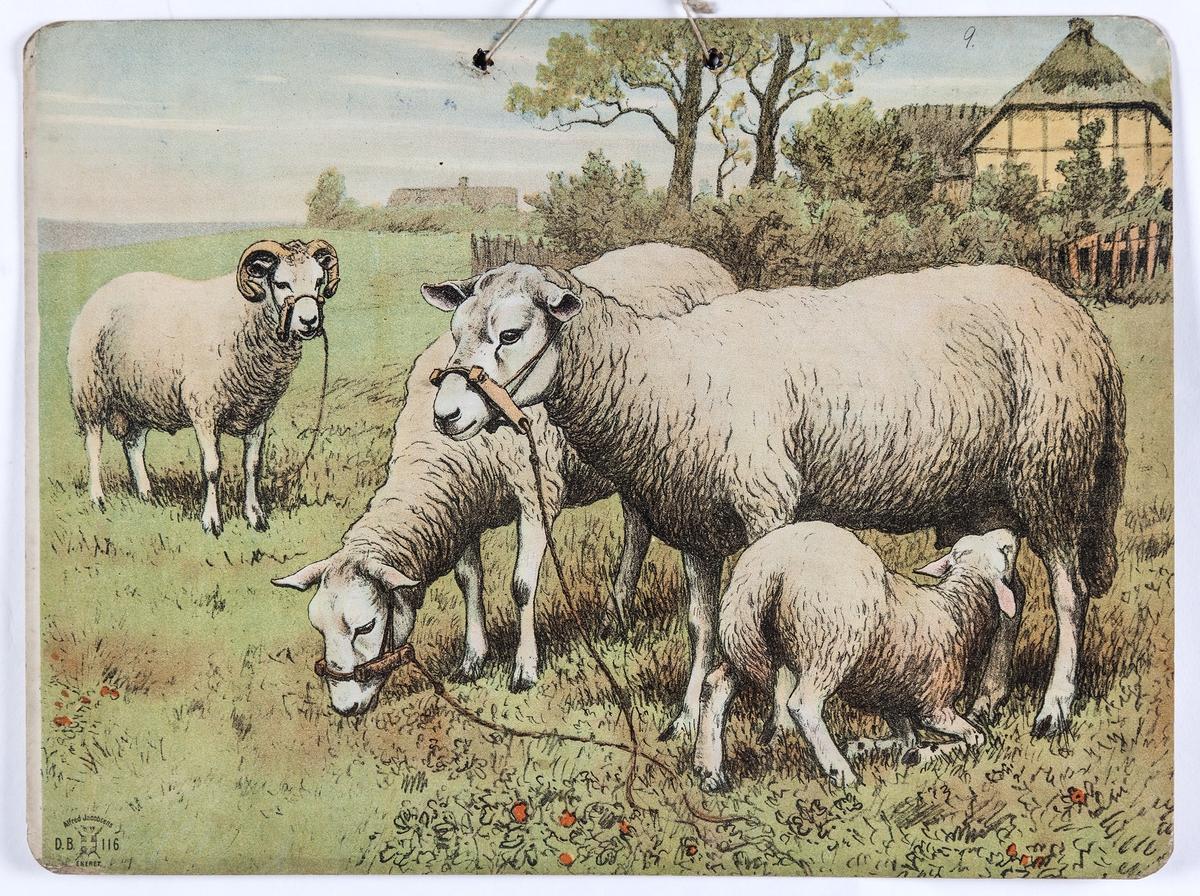 Skoleplansje, naturfag. Illustrert på begge sider, forestiller sauer i gårdsmiljø (116) og gris med unger (Nr. 115).