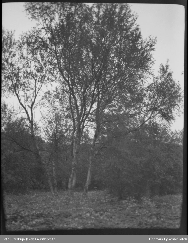 Trær, et vakkert bjørketre i sentrum av bildet