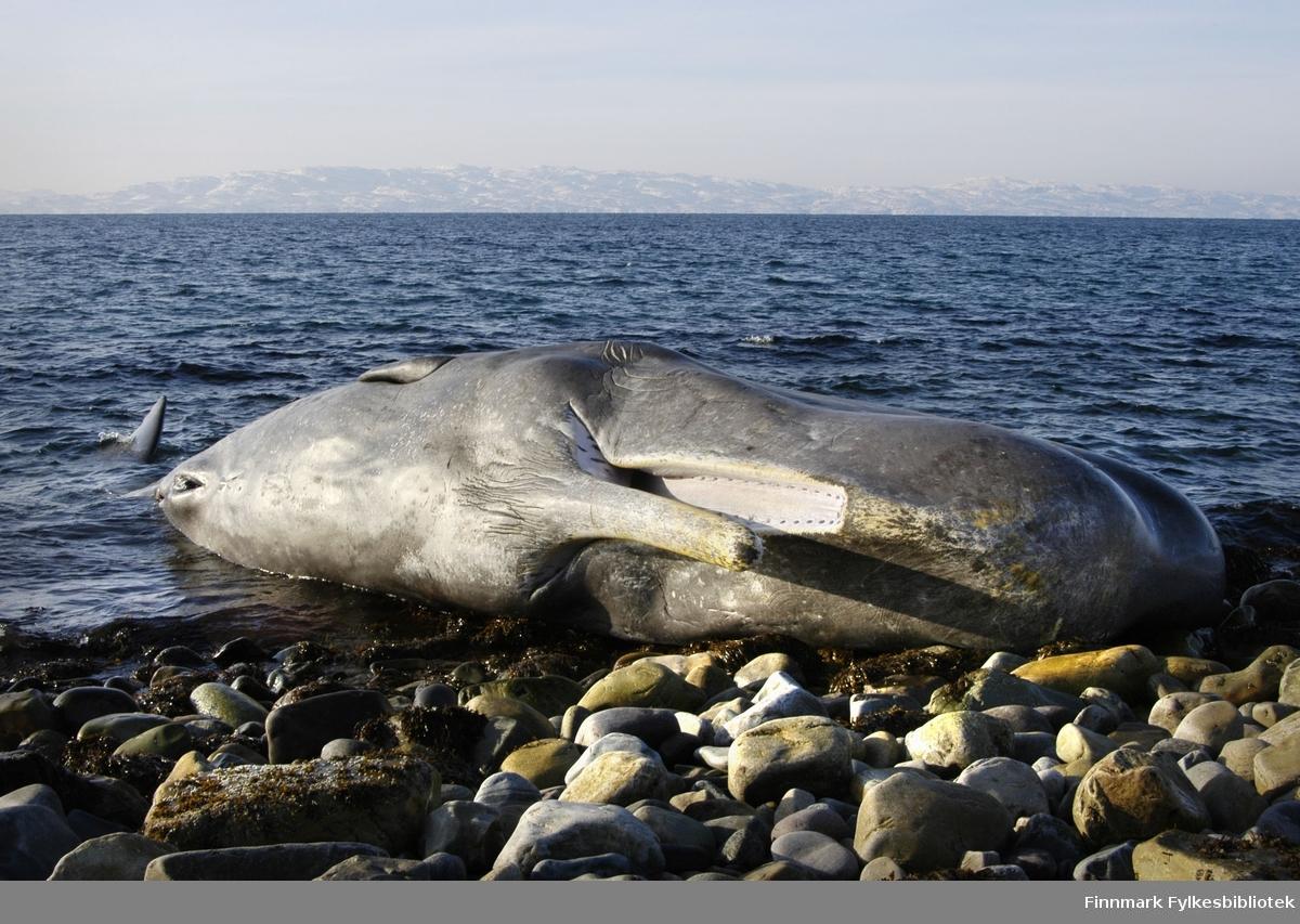 En 10 meter lang spermhval rak på land i mellom Vadsø og Kiby 11.3.2009. Hvalen var nylig død, ingen vet dødsårsaken. Den bar ingen synlige tegn på ytre skader. Noen dager etter ble spermhvalen fjernet av kystvakten