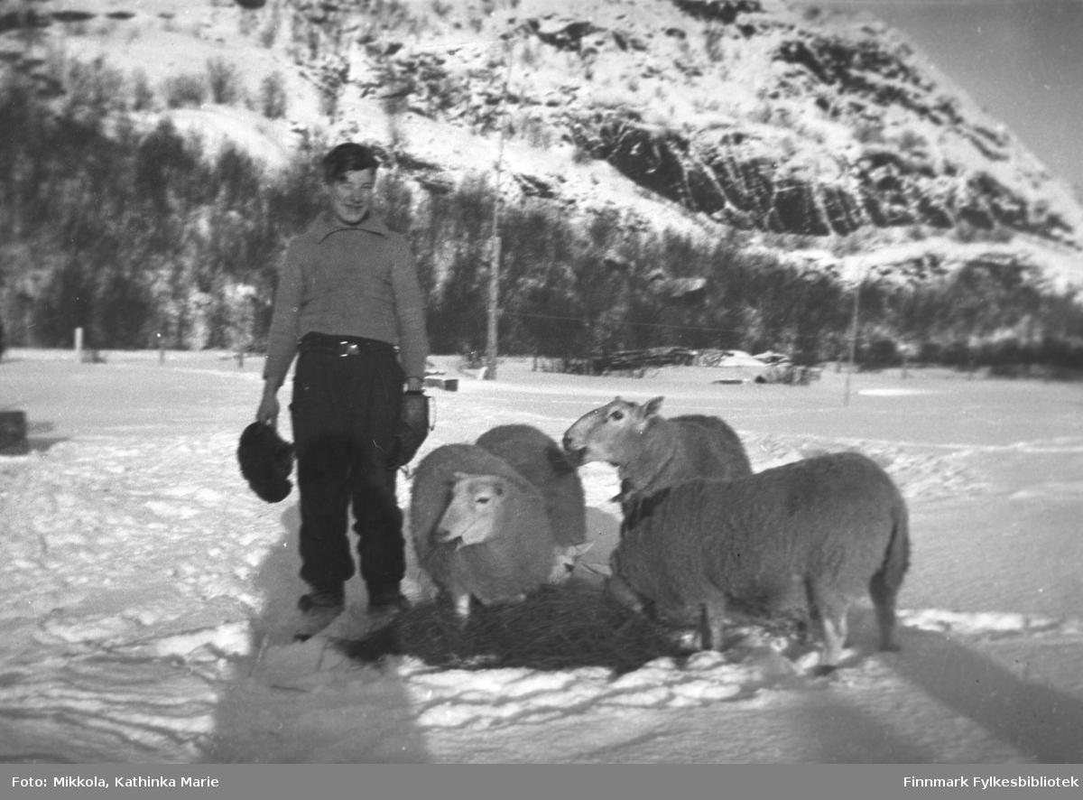 Andreas Mikkola har gitt sauene høy i snøen på Mikkelsnes, antakelig 1940-1944