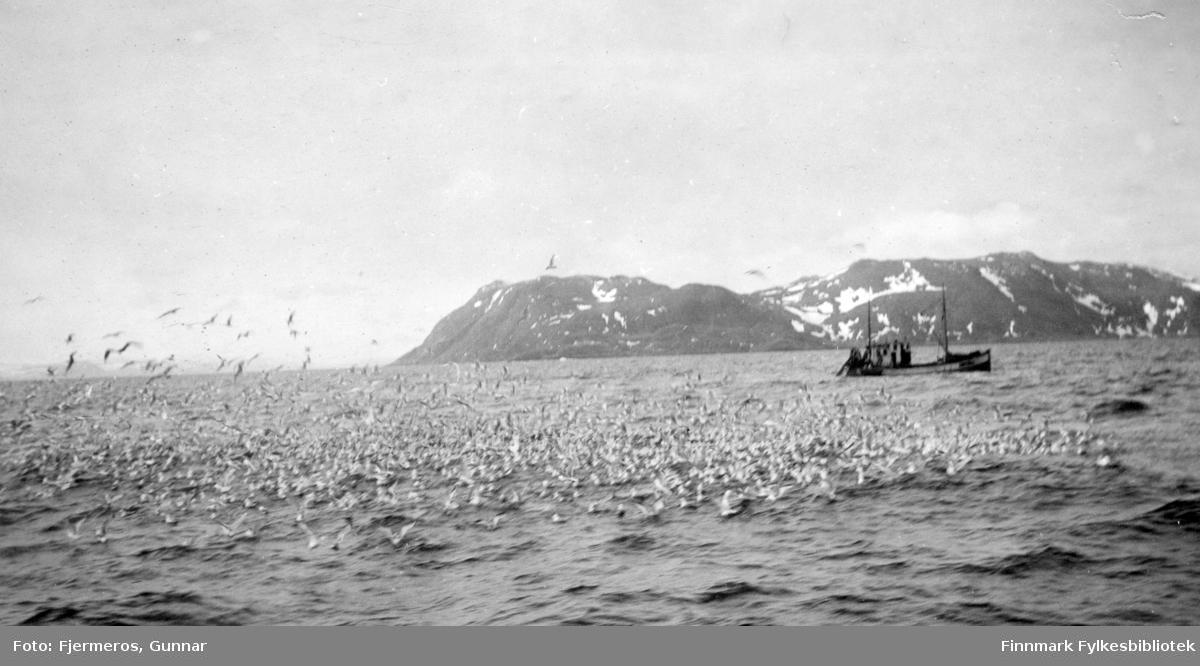 En båt ligger utpå sjøen og fisker sei med not og masse måker sitter på vannet og venter på mat. Bildet er tatt øst for Nordkapp våren 1948. Båt og nøyaktig sted er ukjent.