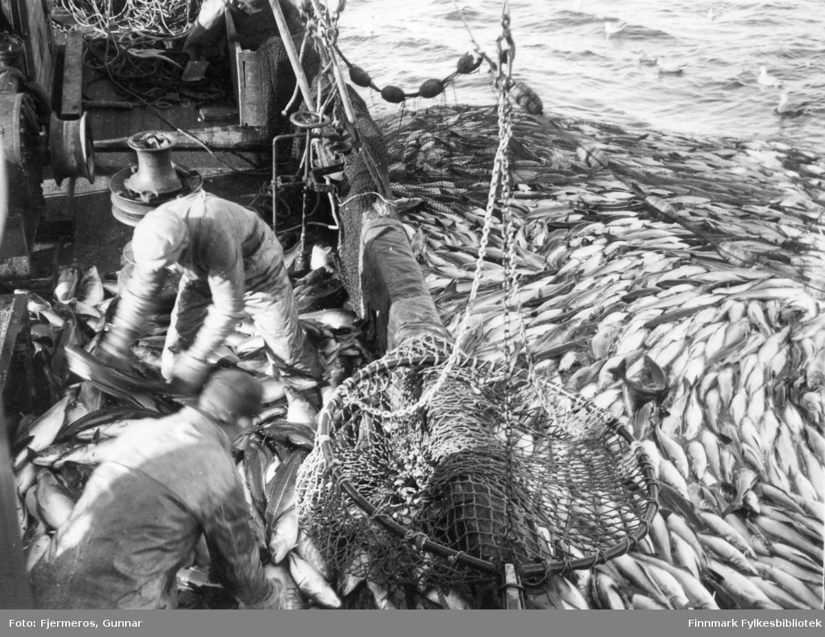 Sei fra nota som henger langs rekka hales ombord i en fiskeskøyte. Et par menn står i regntøy og jobber mens flere måker svømmer på sjøen. Sted og personer er ukjent.