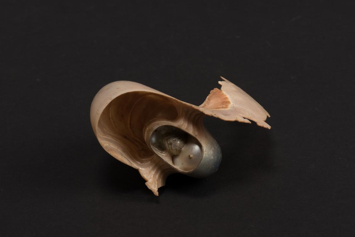 Snidad nautilussnäcka, en så kallad pärlbåt. Snäckan har ett fiskformat utskott på den ena sidan med huvud, kropp och stjärt, en del av fiskstjärten saknas. På fisken finns inristningar i form av fiskfjäll. Den andra sidans utskott är avbrutet och saknas.