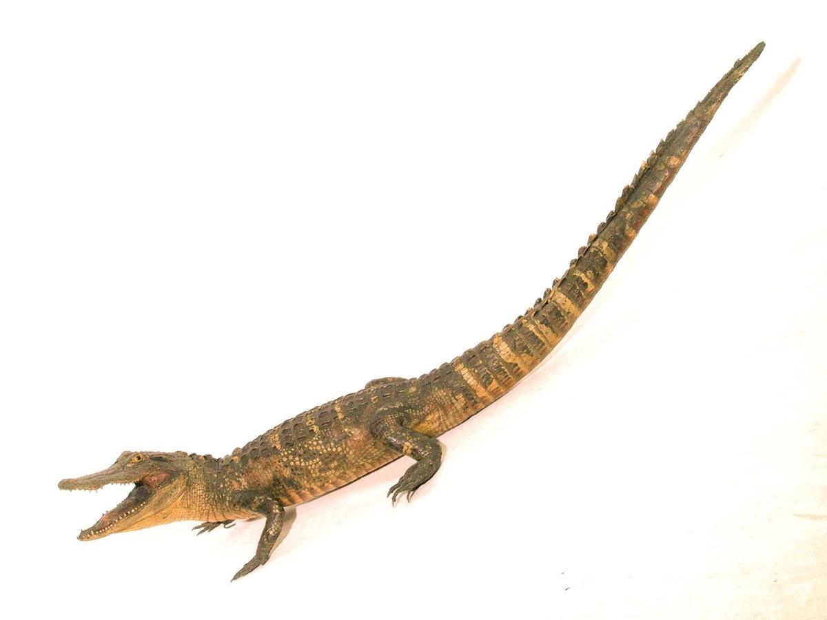 Utstoppet alligator.