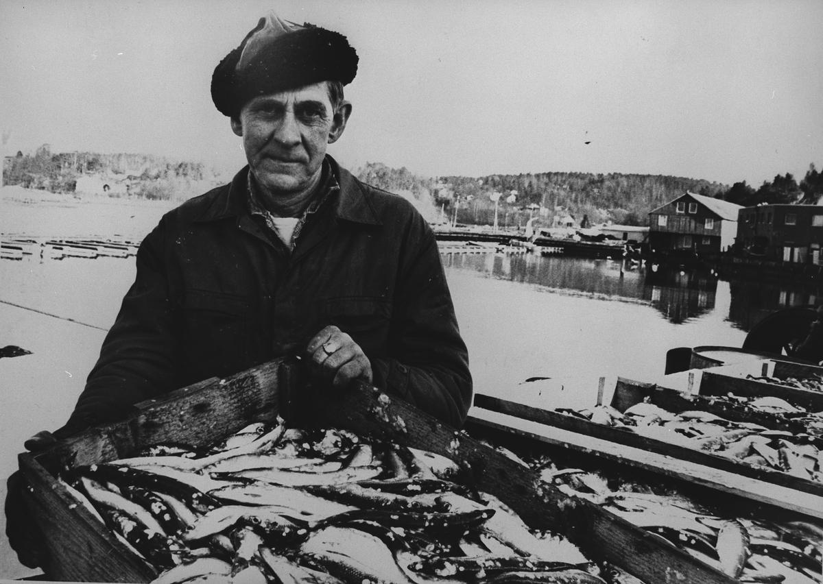 Johan Johansen med fiskekasse full av sild.