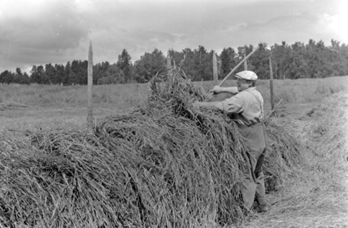 Høyonn,  slåttonn, hesjing, ukjent sted 1954.