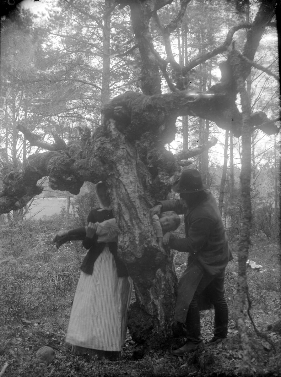 Folklig läkekonst. Smöjning. Ett barn dras genom ett s.k. vårdbundet träd för att tillfriskna, här ifrån engelska sjukan. Uppland.