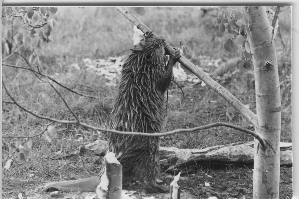 'Närbilder på bävrar som fäller träd. ::  :: En bäver ståendes på bakbenen gnager på en gren på ett träd. ::  :: Ingår i serie med fotonr. 5670:1-27.'