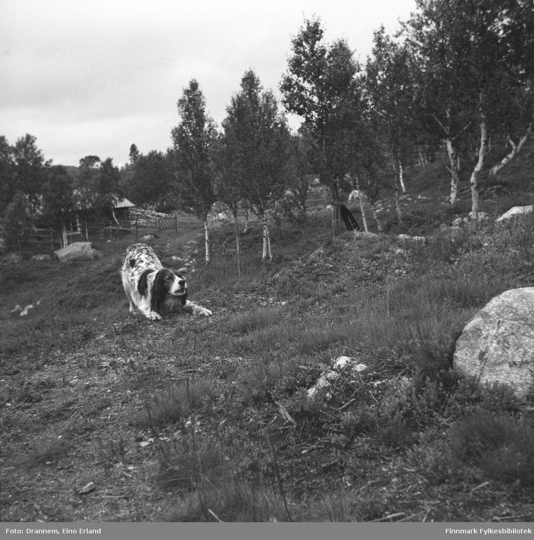 Hunden Rexi fotografert på et jorde