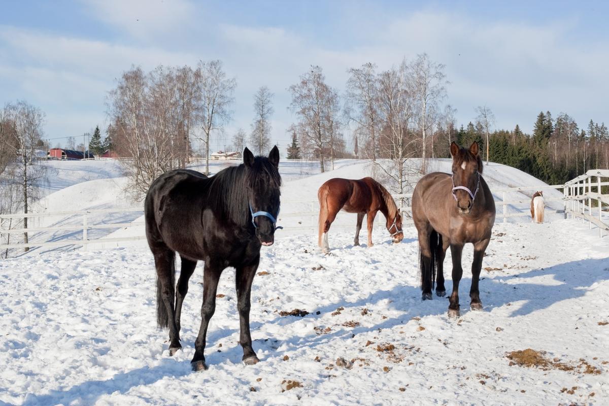 Tre hester i snøen