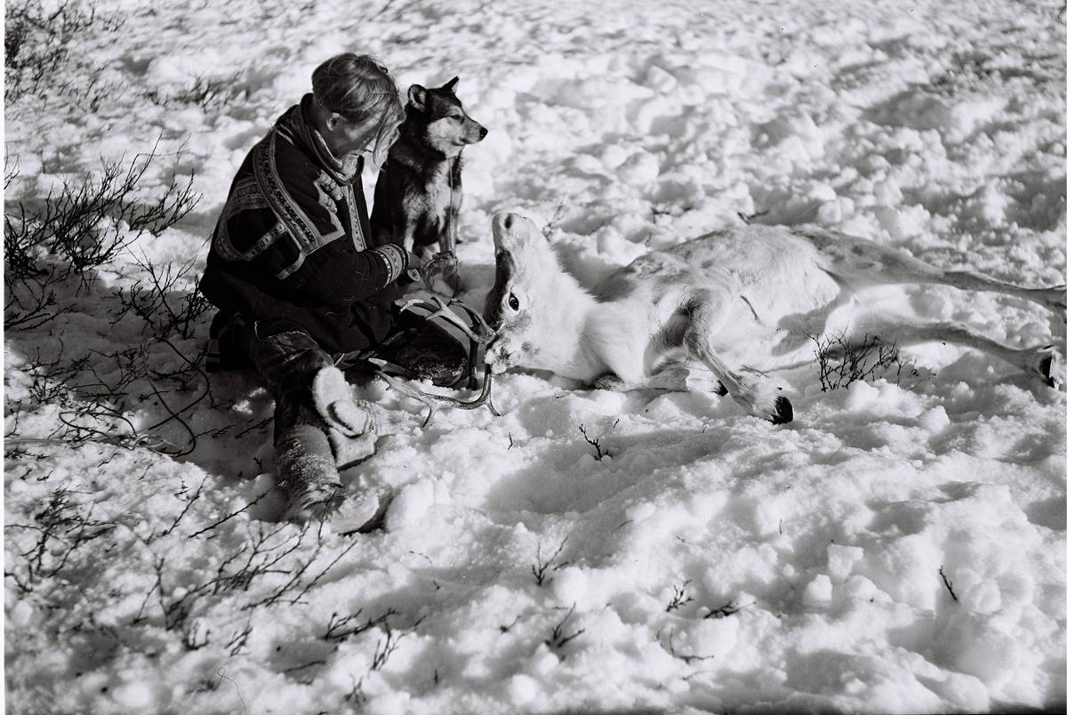 Norge, Finnmark; En reineier har fanget en rein for å merke den. Han er kledd i tradisjonell samedrakt. En hund sitter ved siden av. Fotografert i 1954.
