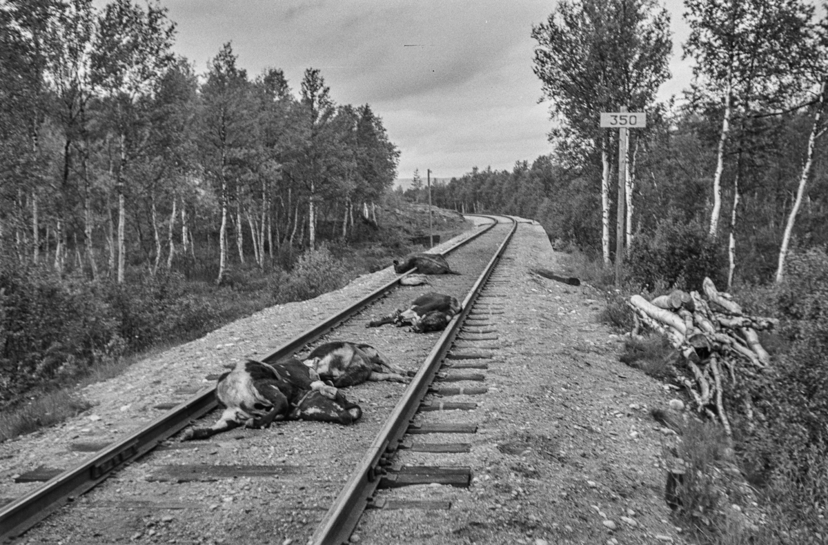 Kalver som er kjørt ihjel av toget på Rørosbanen.