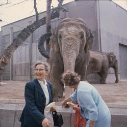 De Asiatiska elefanterna vid elefanthuset på Skansen. Barn o