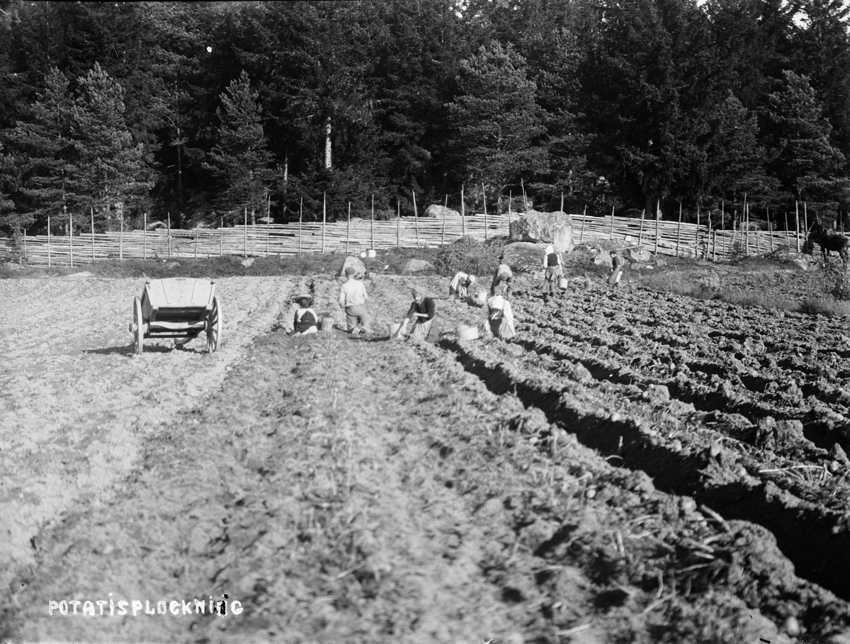 Potatisplockning i Sävasta, Altuna socken, Uppland i början av 1900-talet