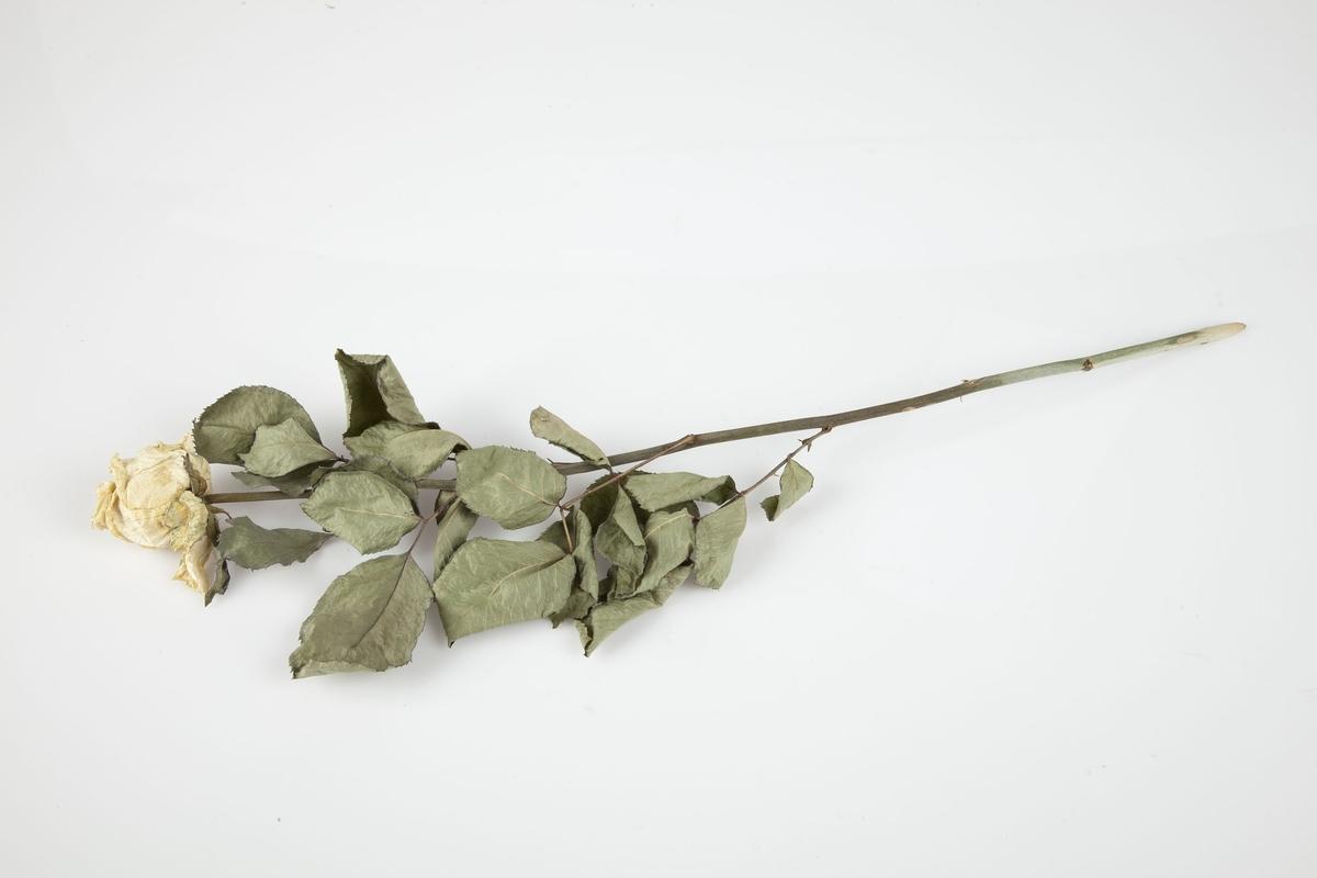 Rose innsamlet etter terrorhandlingen 22. juli 2011 fra minnesmarkeringene i Lillestrøm.   Dette er en kraftig hvit rose hvor blomsten har gulnet. Bladverket er fremdeles godt, på den øverste delen av stilken som forøvrig er uten torner. Bladverket har beholdt en god del av grønnfargen.