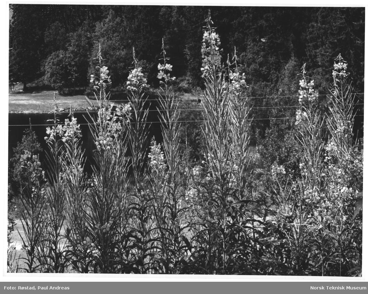 "Geirerams i ""Kollen"". KIH: B[…]skogen]. 33 cic. 17,5 cic."