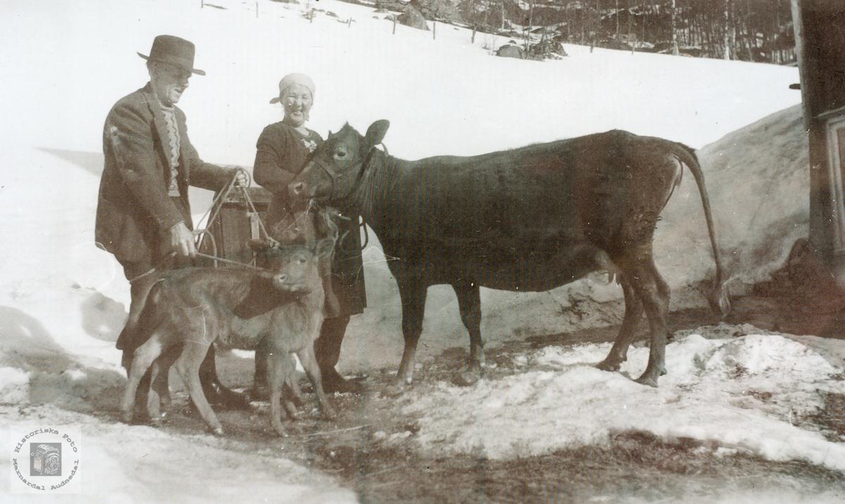 På reis med ku og kalv. Grindheim senere Audnedal.