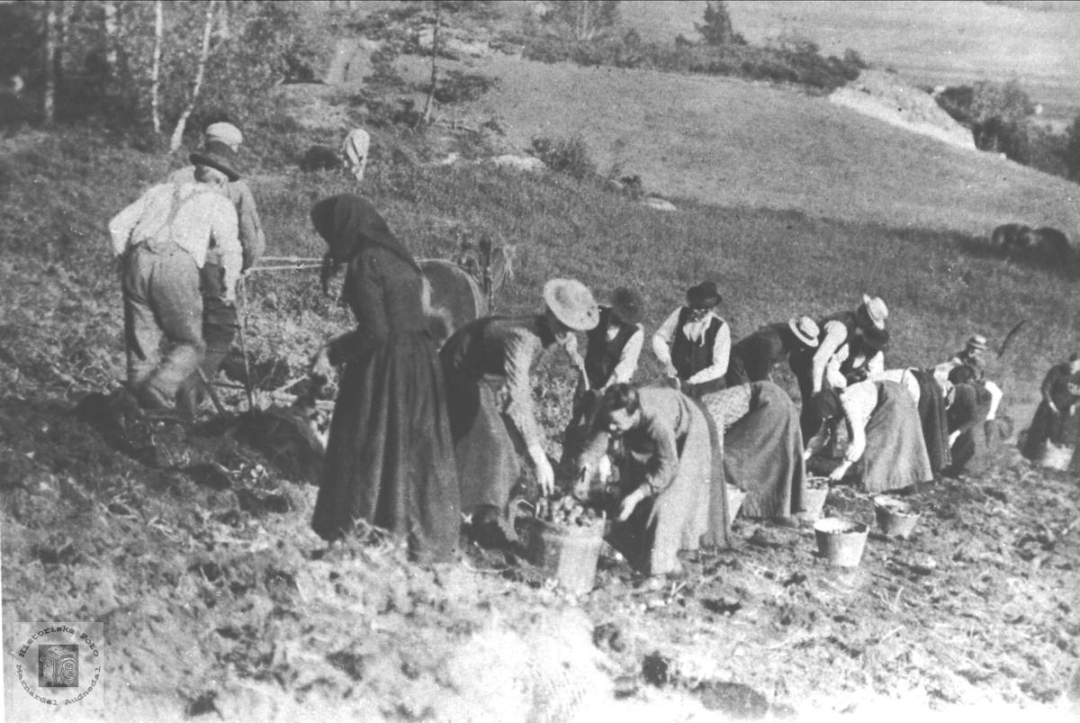 """Potethøsting på """"misjonsstykket"""", senere Høgtun, Øyslebø."""