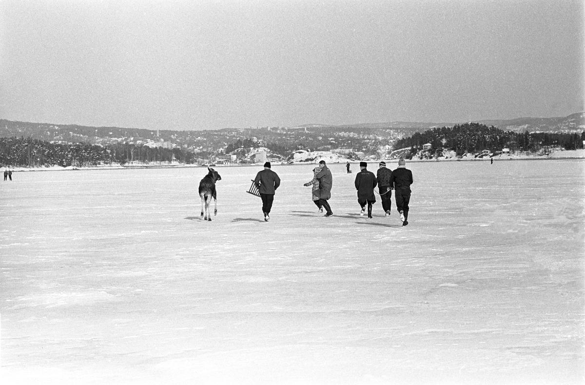 En elg har forvillet seg ut på isen i Østmarka vinteren 1967. Seks mennesker, en med stige, prøver å hindre den i å gå mot vannet til høyre i bildet.