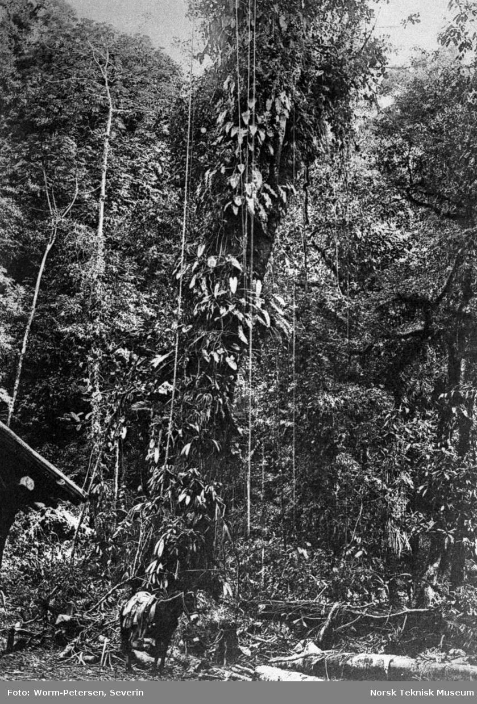 Lianer i sør-mexikansk regnskog