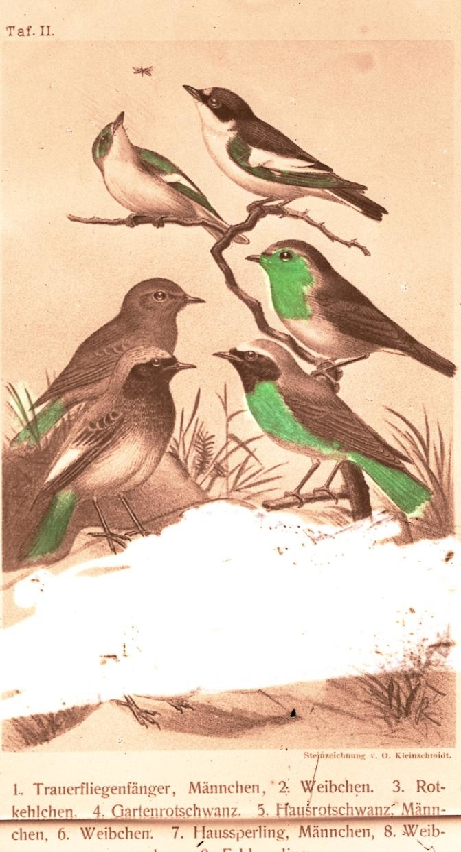 Fugler, kolorert