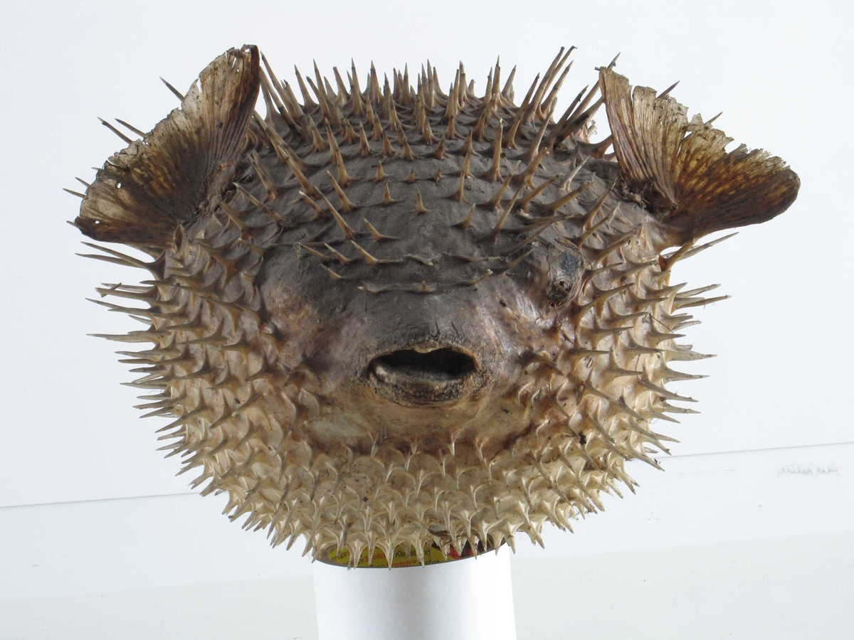 Tørket ballongfisk, med pigger. Slike tørre, oppblåste ballongfisk ble ofte brukt som dekorasjon i sjømannshjem.