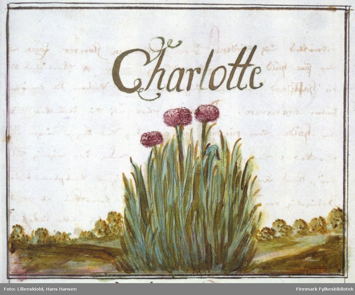 Charlotte. Illustrasjon til beskrivelse av Finmarkske-løg eller Charlotte, ser ut til å være gressløk. Planten er ikke sikkert artsbestemt