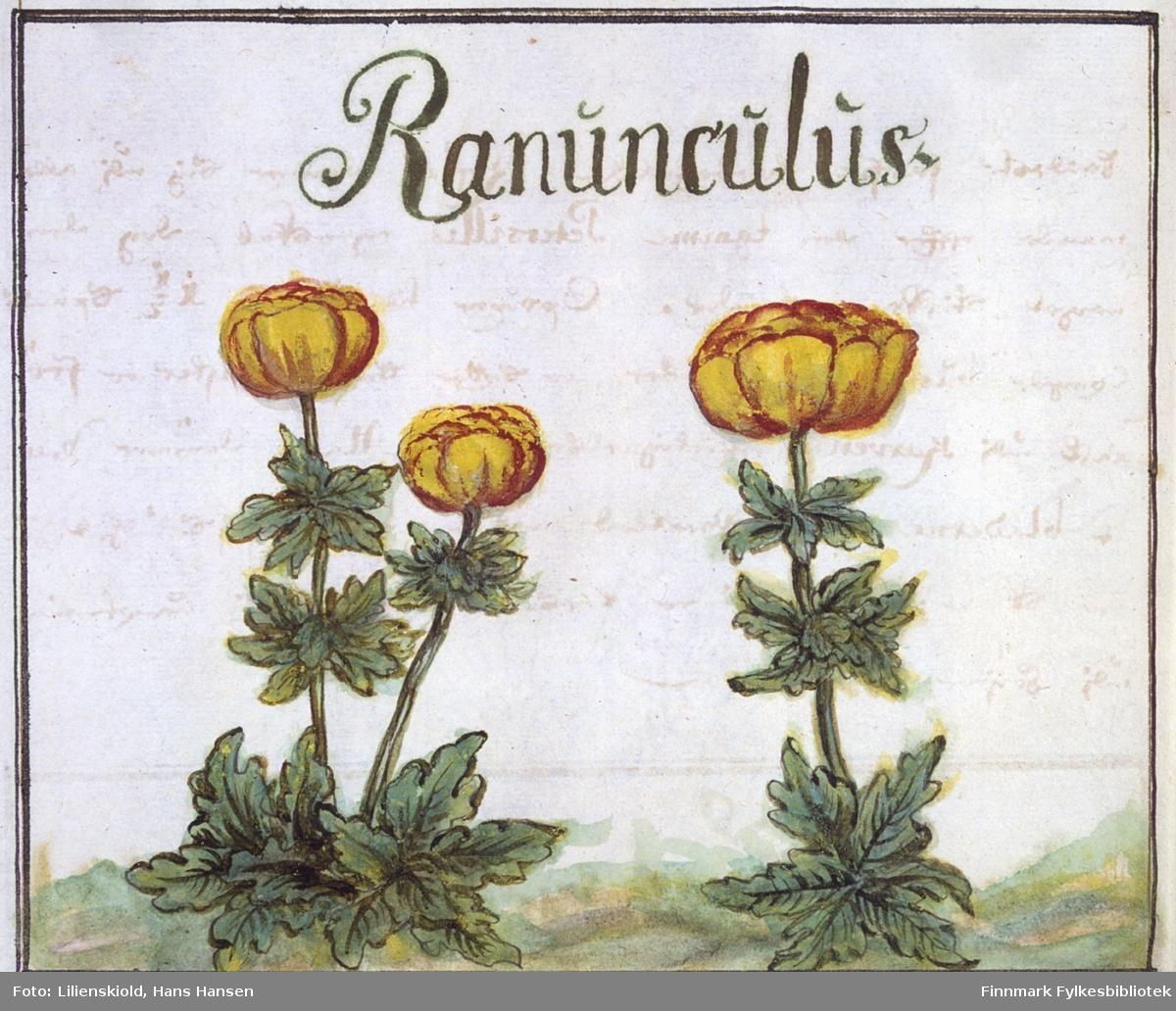 Ranunculus. Likner svært på ballblom, men planten er ikke sikkert artsbestemt