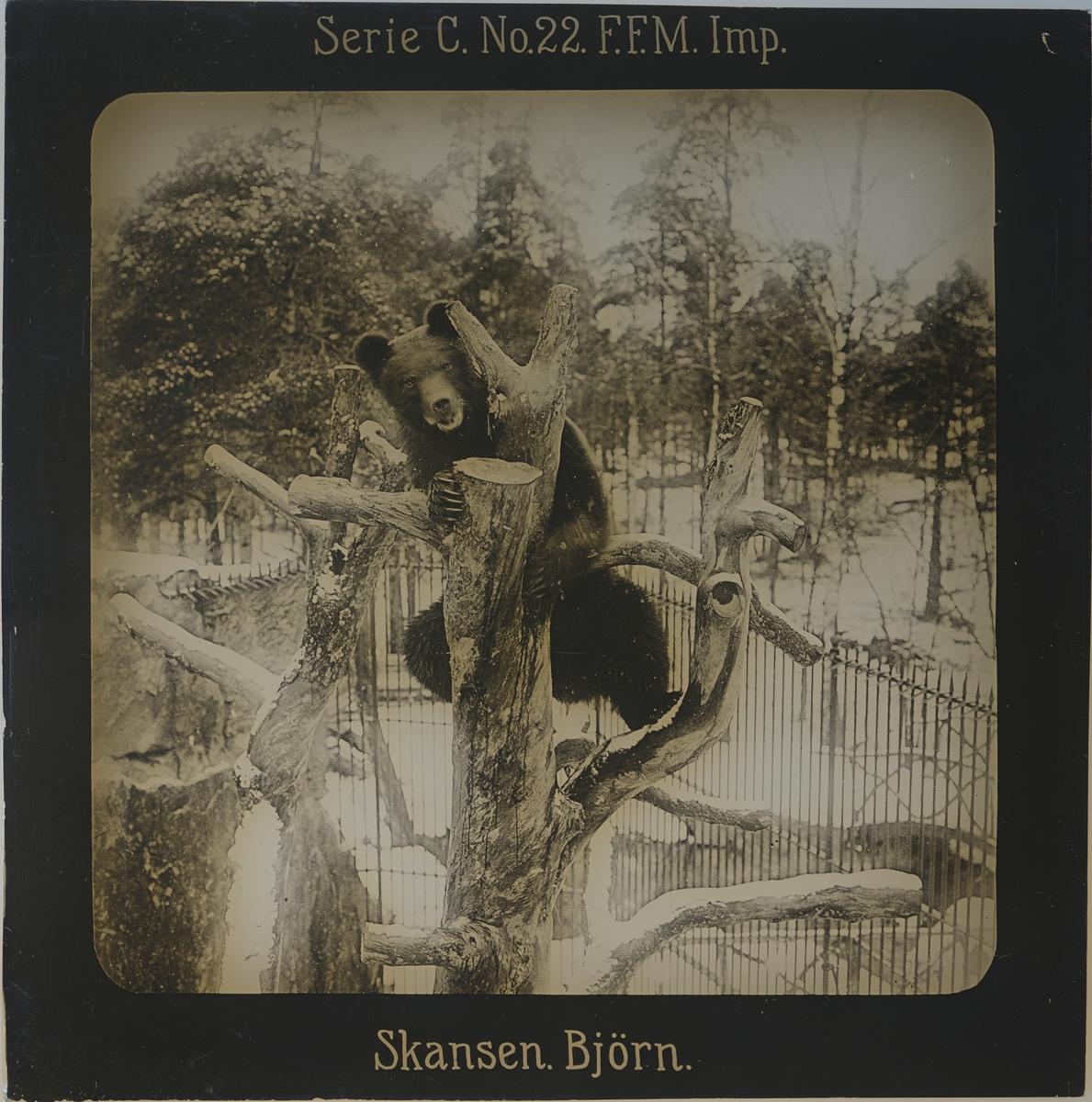 Björn som klättrat upp i ett träd i sitt hägn på Skansen. Marken är täckt med snö.