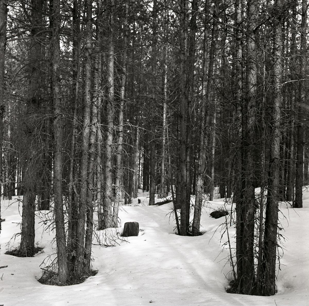 Träd planterade i grupper, Trönö 6 april 1960.