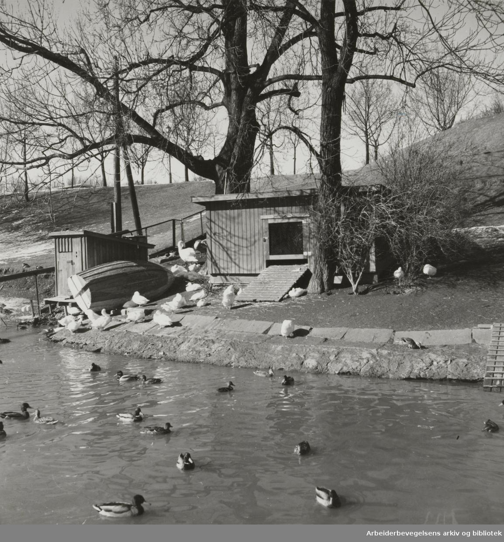Frognerparken. Våridyll i andedam. Mars 1960