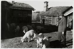 James Coward på hyttetun med beitende geiter