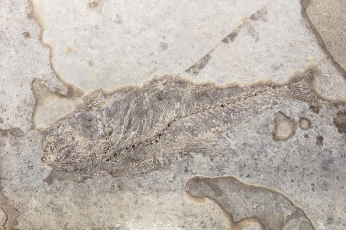 Fossil av en fisk, som är ett ryggradsdjur. Exemplaret kommer troligen från dåvarande Böhmen i Österrike-Ungern och ingår i Adolf Andersohns samling.