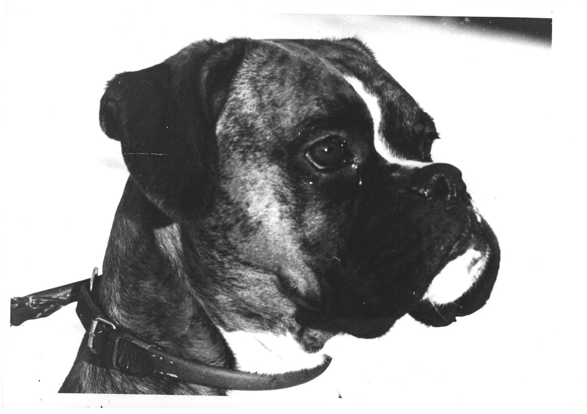 Boxer. Dr. Furulund