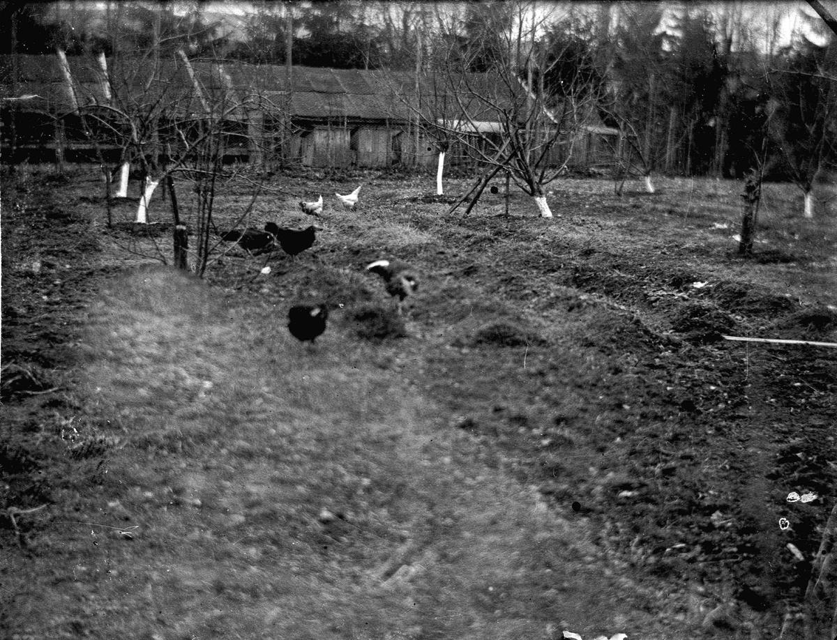 Høner/fugler utenfor uthus