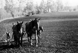 """Våronn på Skredshoel, Ringsaker. Hestene """"Frøya"""" og """"Norma"""""""