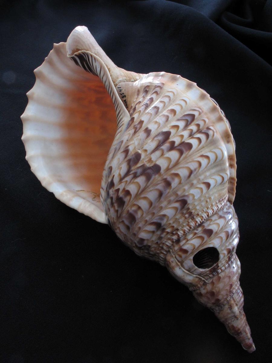 Krigslur, fra Meoko. Tritonskjell. Stor konkylie, hvitt, gyllent, brunt og oker, i ca. 1,5 cm  brede   striper.  Innvendig gulhvitt ytterst, så oransje. Et ca. 2 cm bredt  hull mot  spissen og et hull ved åpningen med hyssing i.