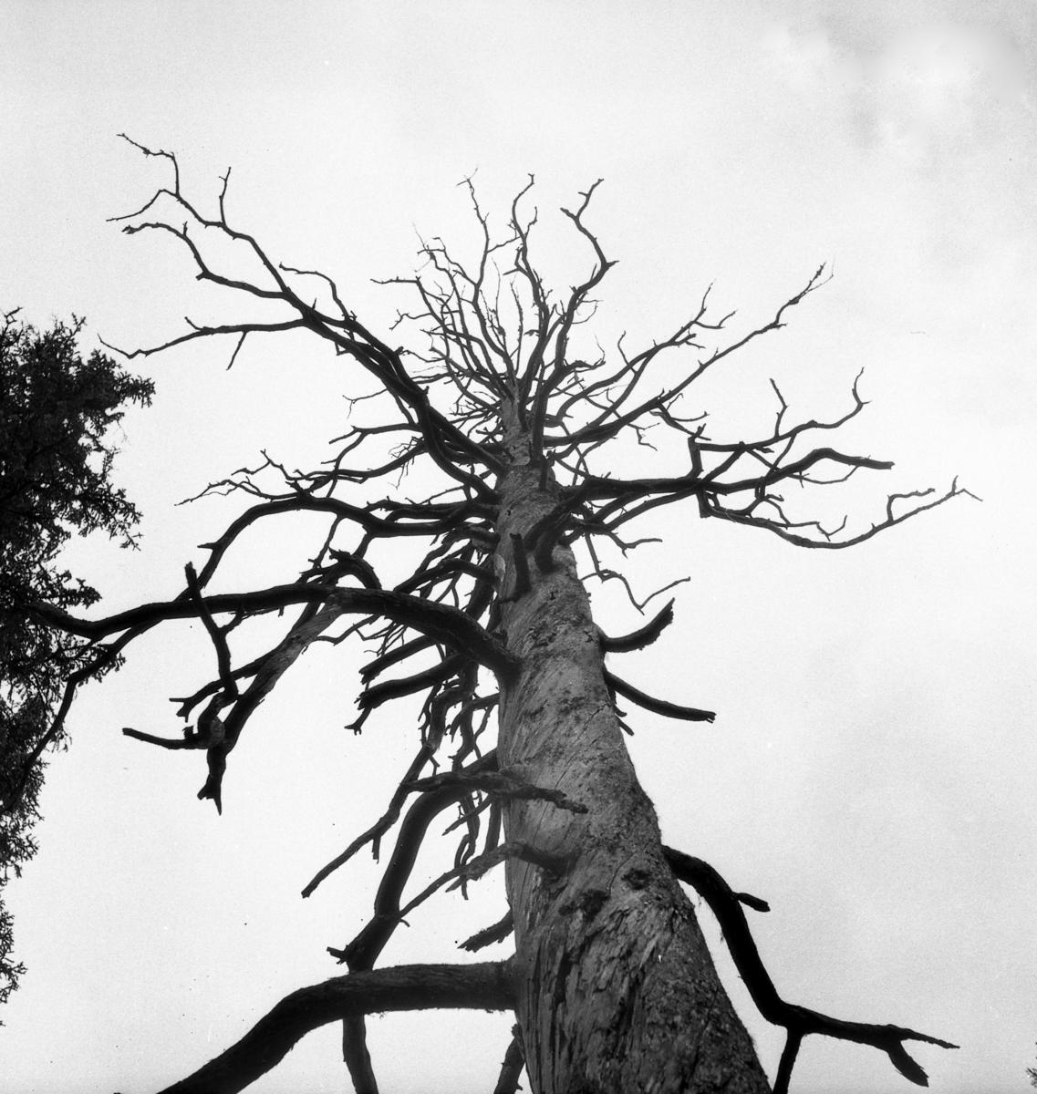 Fra urskogen